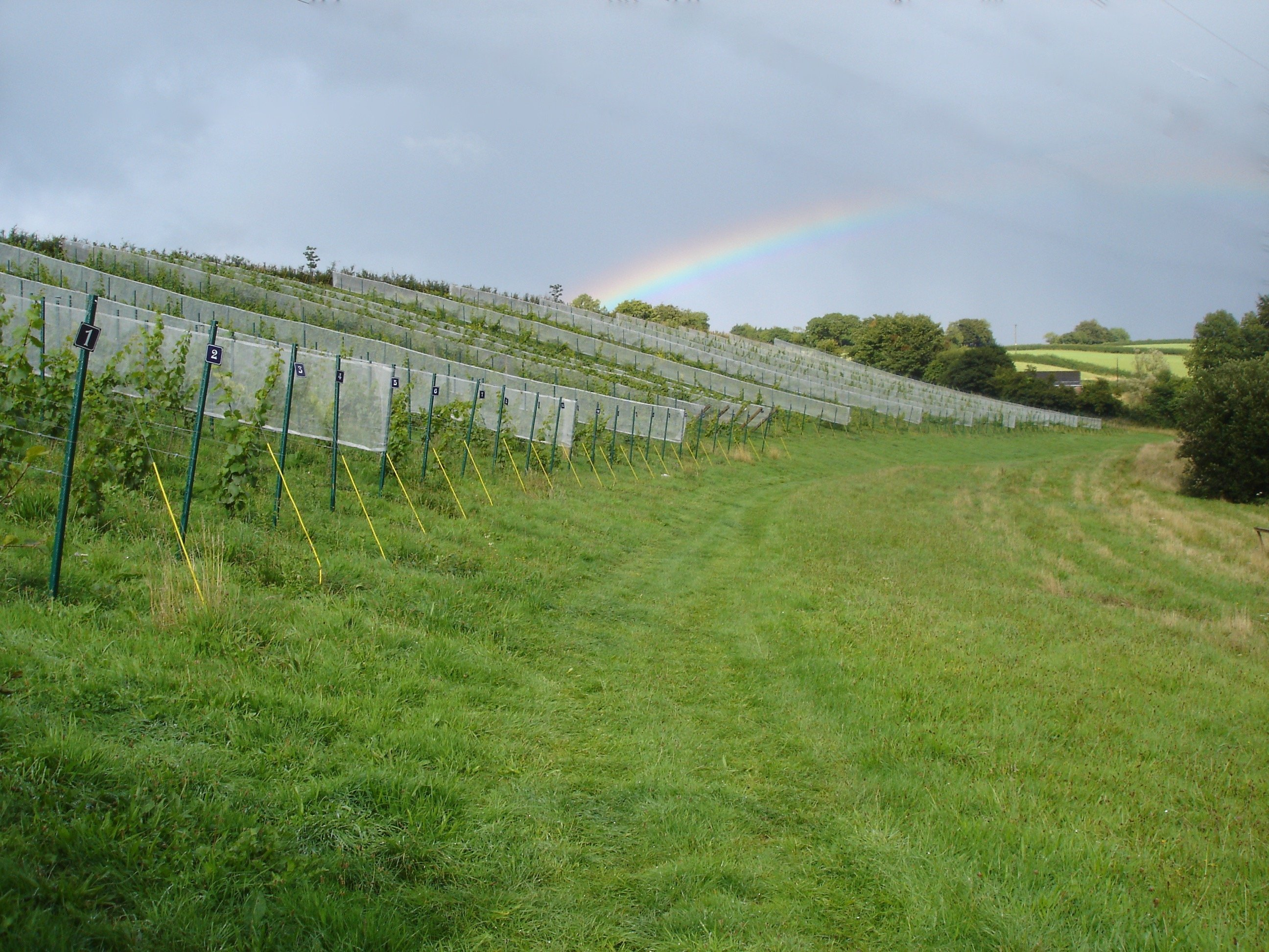 vineyard20rainbow